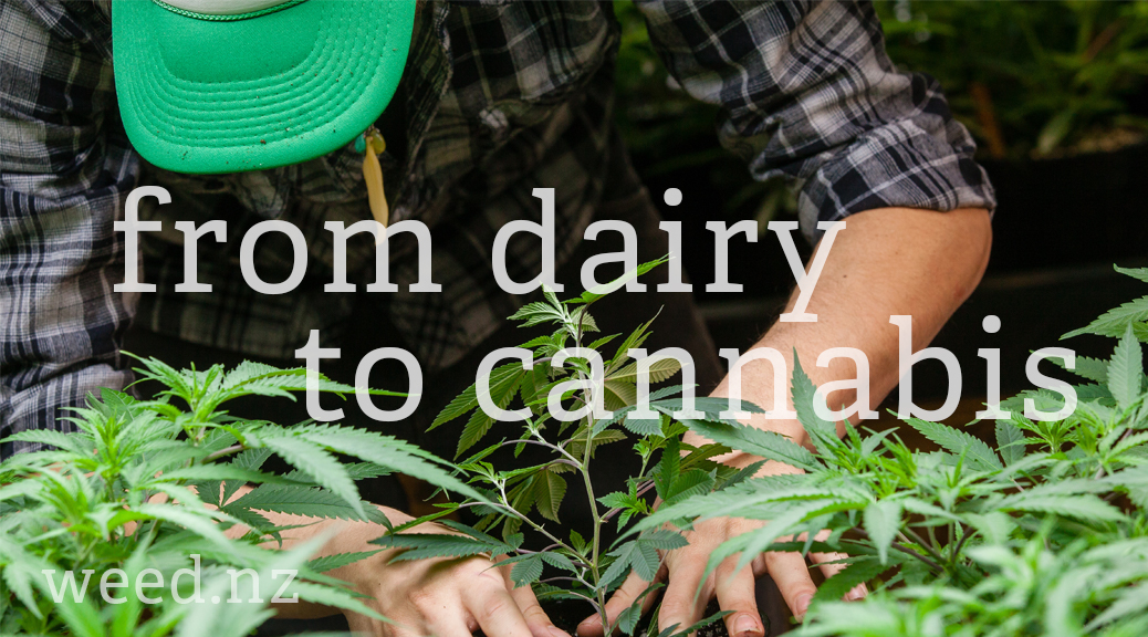 from dairy farmer to marijuana